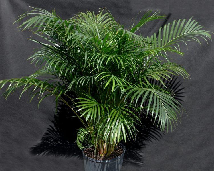 palmier-interieur-areca-entretien-facile