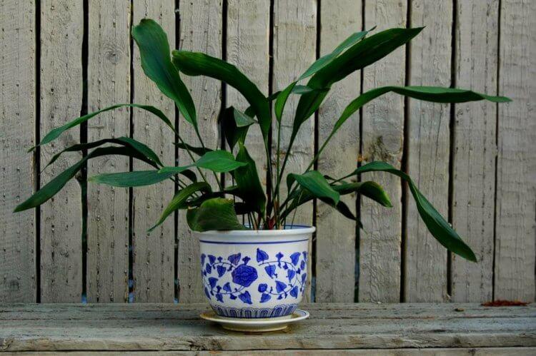 palmier-interieur-aspidistra-elatior-plante-vivace-feuilles-vert-fonce