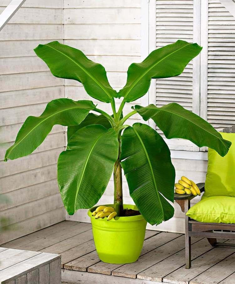 palmier-interieur-bananier-culture-pot