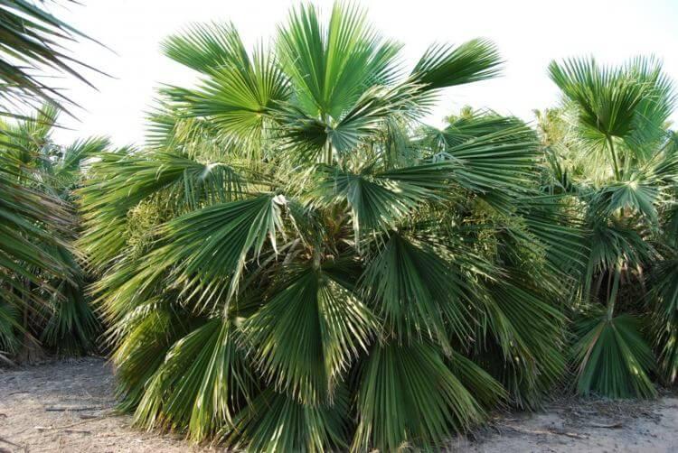 palmier-interieur-brahea-dulcis-feuilles-eventail
