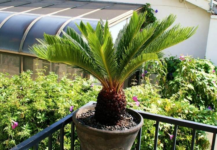 palmier-interieur-cycas-feuillage-decoratif-culture-pot-balcon
