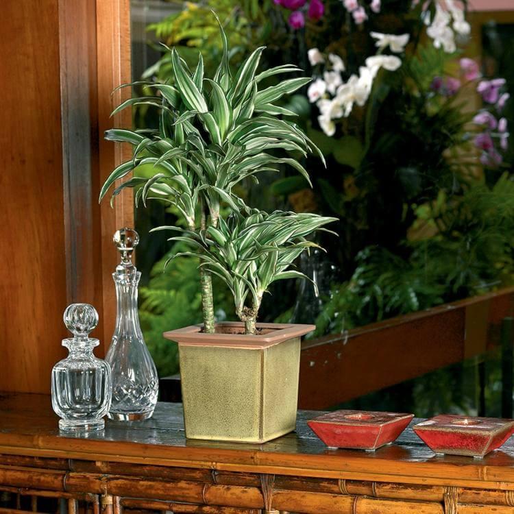 palmier-interieur-dracaena-culture-pot-plante-interieur-decorative