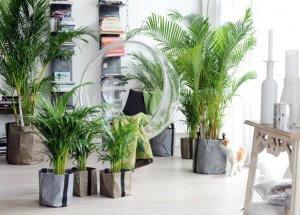 Palmier d'intérieur: espèces, propriétés et conseils d'entretien