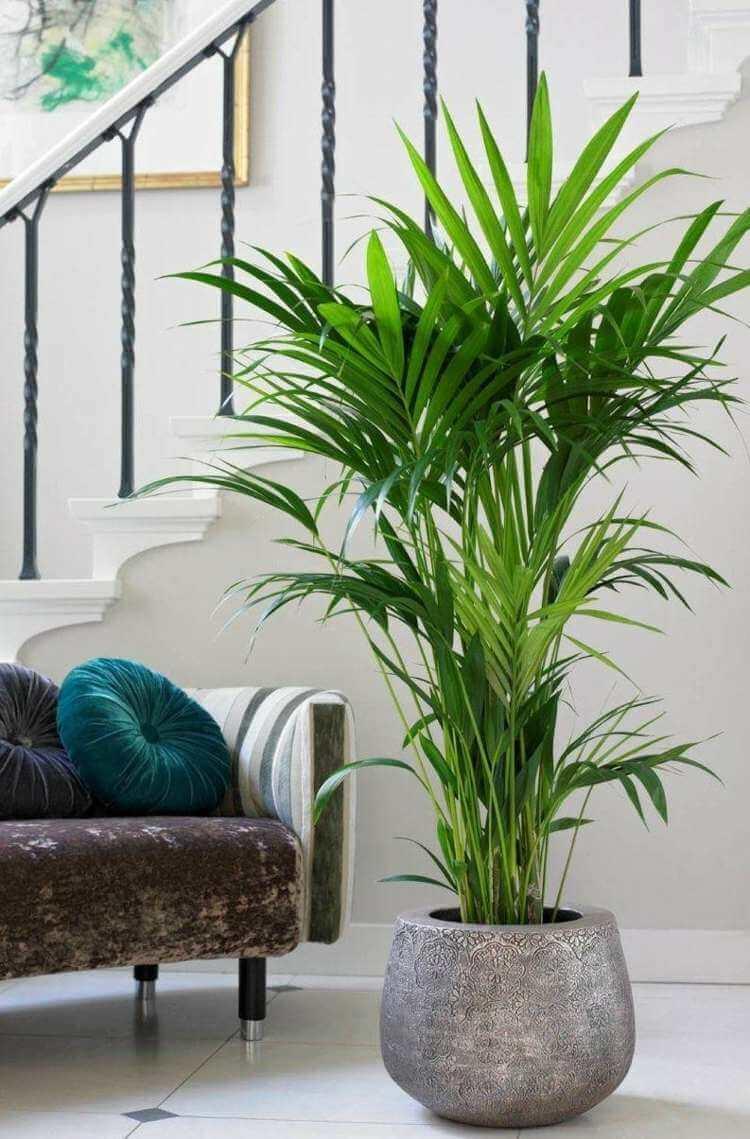 palmier-interieur-kentia-feuilles-vertes-pot-gris