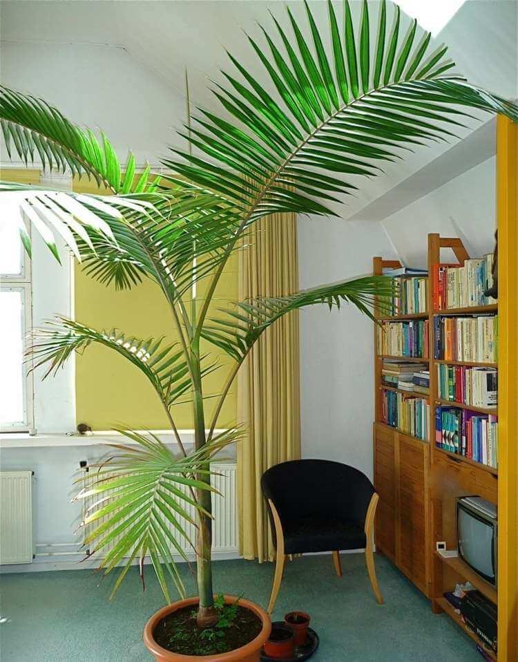 palmier-interieur-palmier-alexandra-bureau-plante-interieur-decorative