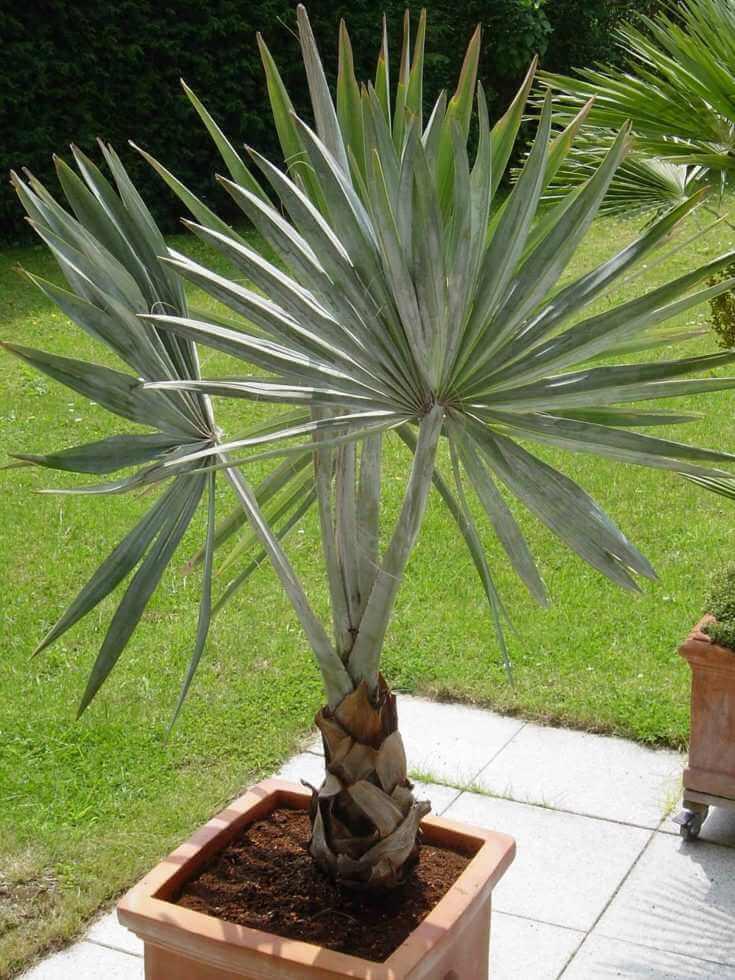palmier-interieur-palmier-bismarck-feuilles-gris-bleute
