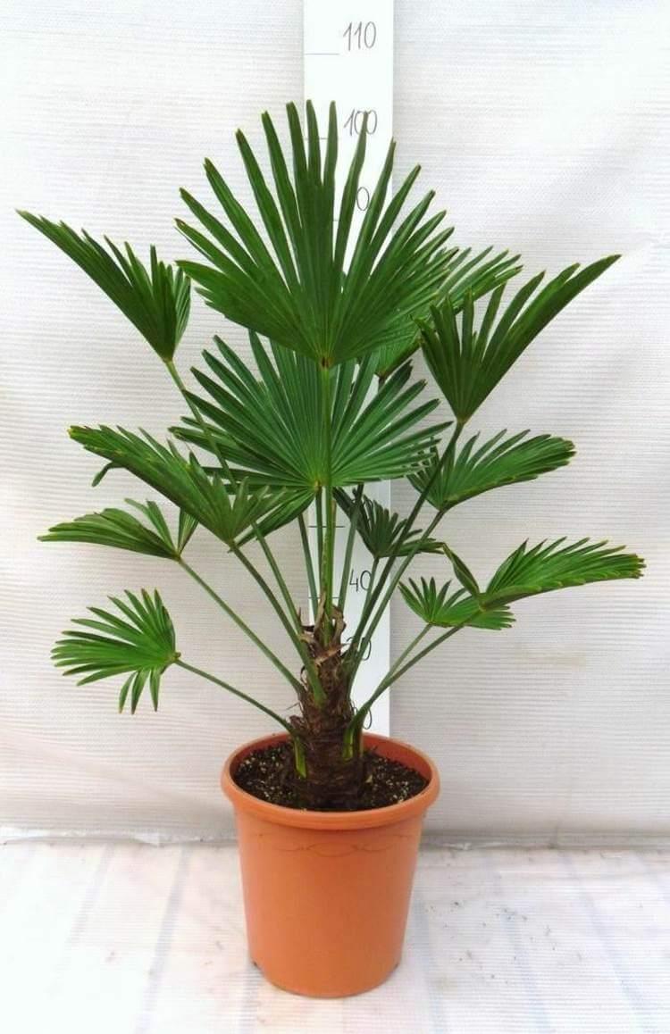 palmier-interieur-palmier-chanvre-feuilles-palmees-vert-fonce