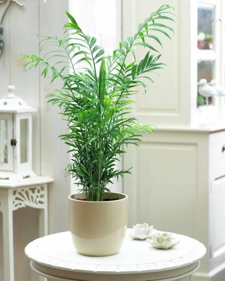 palmier interieur palmier montagne plante interieur pot devis maison bois et maison bois en kit. Black Bedroom Furniture Sets. Home Design Ideas