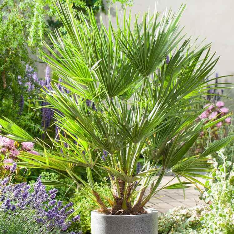 palmier-interieur-palmier-nain-culture-pot-interieur-exterieur