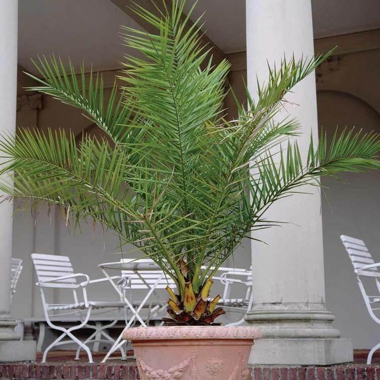 palmier-interieur-palmier-phoenix-grand-pot-terrasse